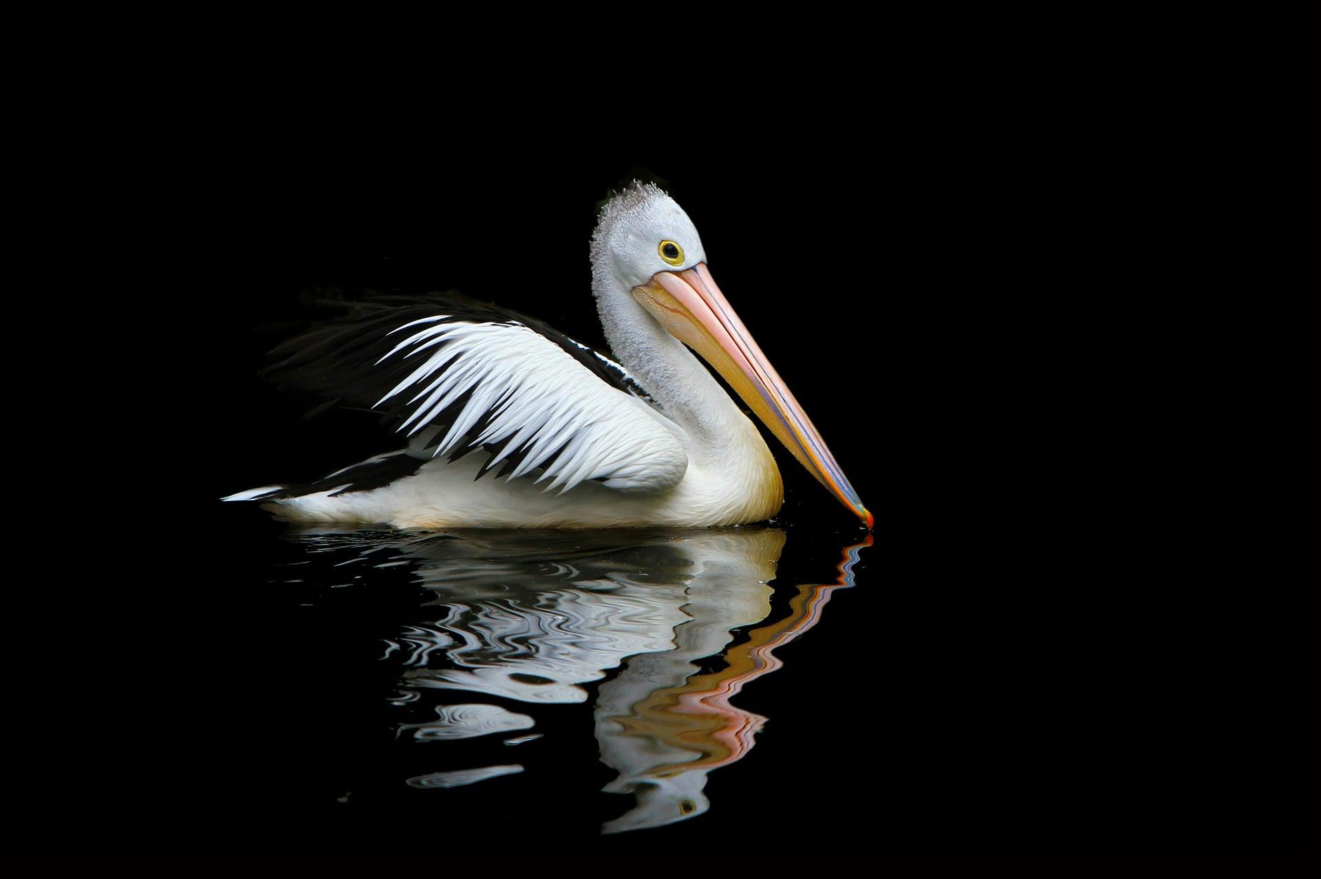 pelikan delta dunaju